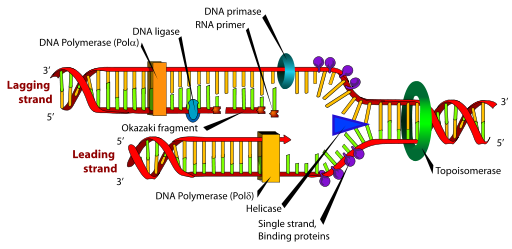 errors in dna replication Replication of the eukaryotic nuclear genome appears to be carried out primarily  by three dna polymerases, pols α, δ and ε current evidence.