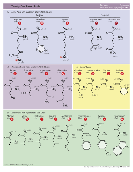 Proteins: how they provide striking evidence of design 463px-Amino_Acids1
