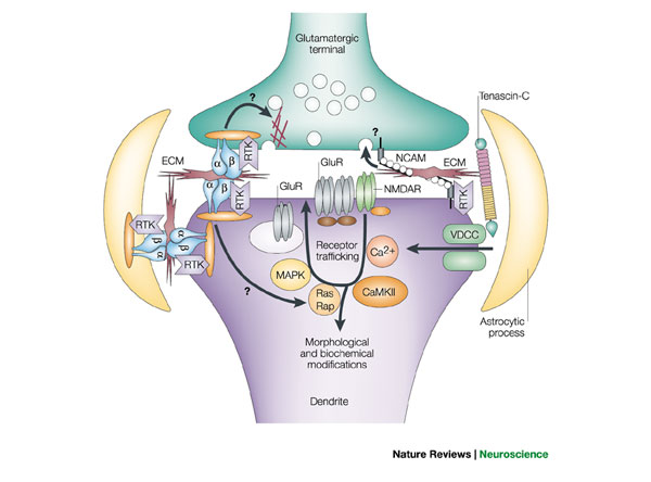 Proteins In The Neuron Shape Is Function