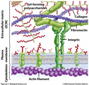 Proteins: how they provide striking evidence of design ECM-INTEGRIN--300x288