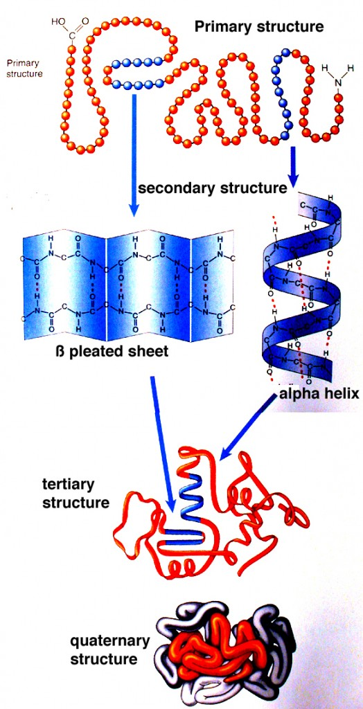 Proteins: how they provide striking evidence of design Protein_structure1-524x1024