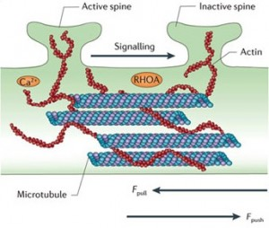 Proteins: how they provide striking evidence of design Spine-communication-microtubule-crop-2-300x254