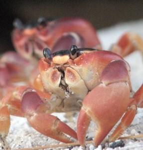 Crabs_-_Barbados  CROP