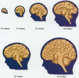 Fetal-brain1