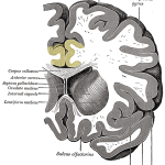 Gray743_cingulate_gyrus