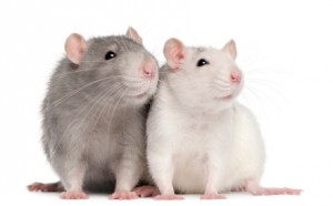 Rats empathy picture