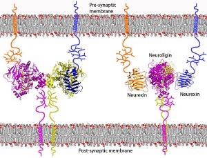neurexin neuroligin