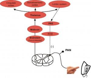 pain in human brain