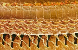 Hair cells of the ear  JPEG 866