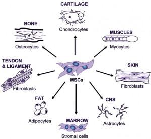 adult-mesenchymal-stem-cells