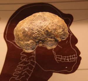 512px-Homo_erectus_endocast_-_Smithsonian_Museum_of_Natural_History_-_2012-05-17