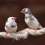 song bird finches