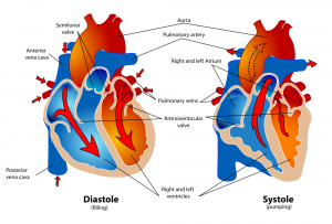 heartsystolediastole