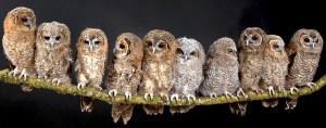 many owls on a branch