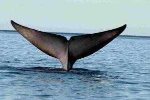 pblue-whale-fluke