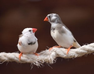 song bird finches