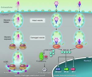 Vesicle autophagy