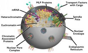yeast_nucleus