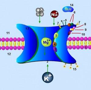 607px-NMDA_receptor