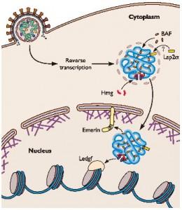 retrovirus_cycle