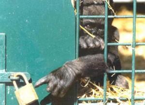 ape in jail