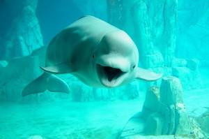 beluga talking