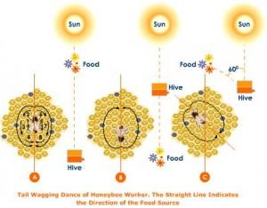 honey-bee-worker-waggle-dance