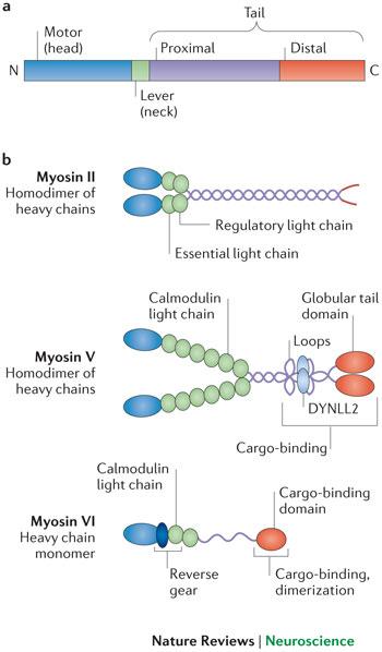 Myosin structures