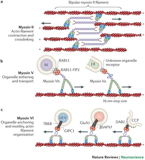 Synaptic myosins