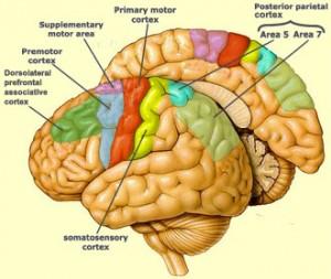somato cortex