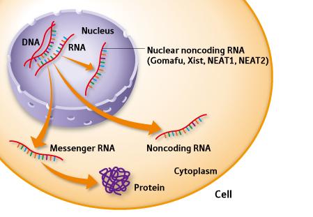 rna and human genome essay