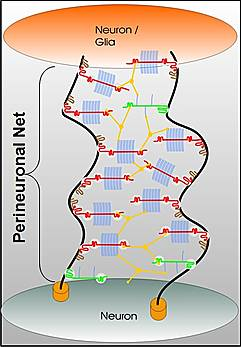 Extra Cellular Matrix Is Critical to Neuroplasticity