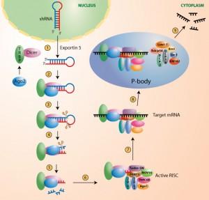 shRNA_pathway