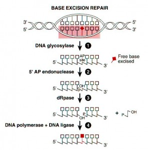 Base Excision Repair