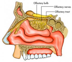 anat_br_nerv_olfactory