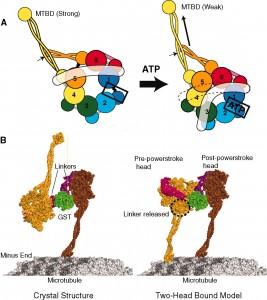 dynein motor atp mechanism