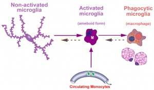 microglial activation3w