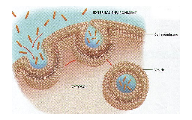Vesicles In A Cell