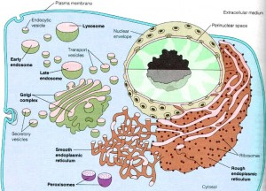 Secretory Vesicles