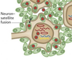 CROP Neuron Sattellite Fusion nrmicro3215-f4 copy