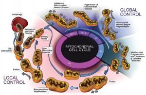 Mito dyamic cycle