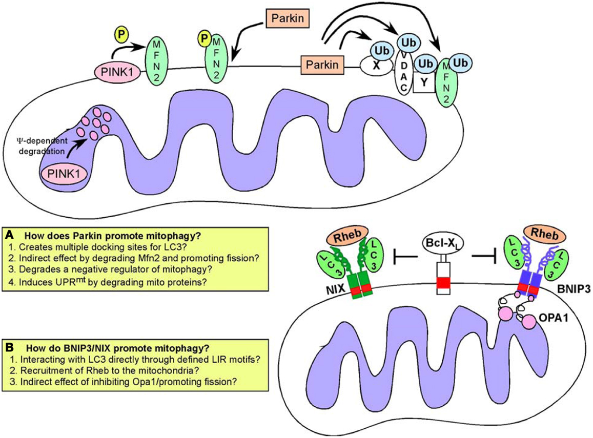 Dynamic Relationship Of Mitochondria And Neurons