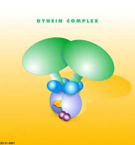 Public domain 559px-Dynein_coplex