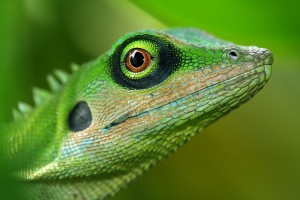bigstock-Green-Tree Lizard 225877