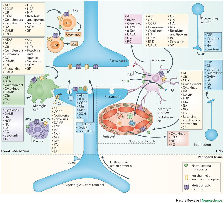 Inflammation Pathways In Neuroplasticity