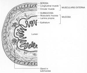 PD    024px-Mucosa
