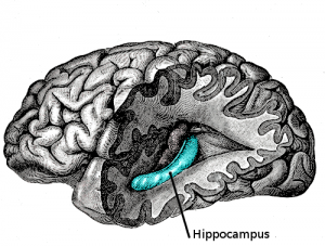 PD  Gray739-emphasizing-hippocampus
