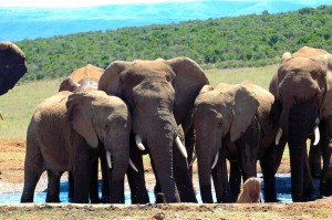 Elephant Herd Mourning