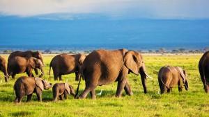 Elephants family and herd on African savanna. Safari in Amboseli