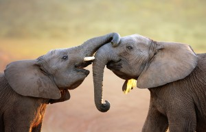 Elephants touching each other gently (greeting) - Addo Elephant